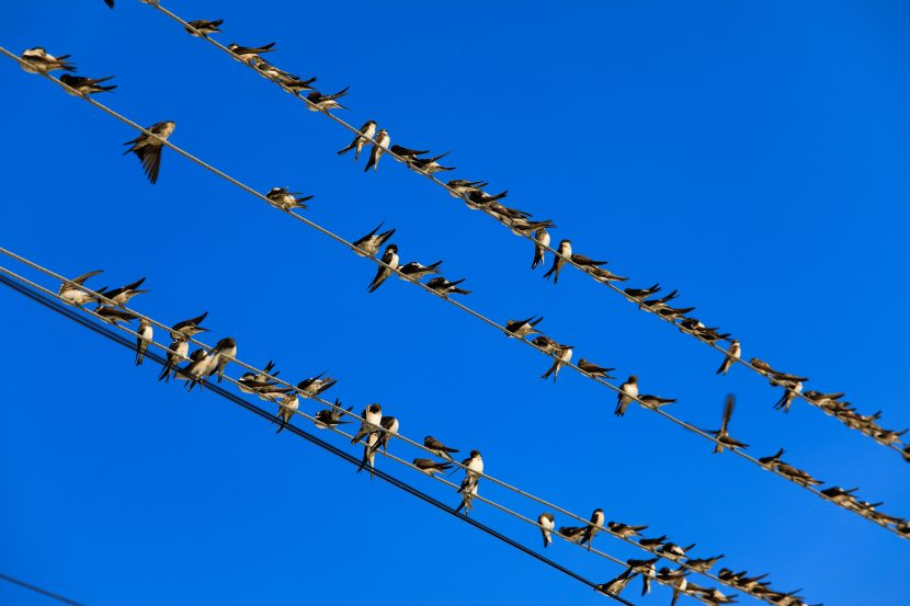 Swallows sitting on a wire